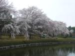 Cherry trees!